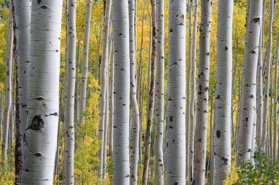 Najładniejsze gatunki drzew – brzoza