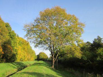 Najpiękniejsze gatunki europejskich drzew – jesion